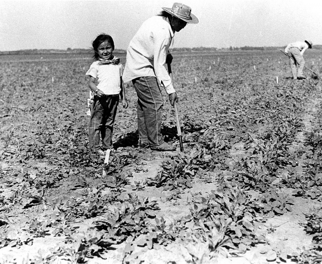 Cultivating Oxnard Sugar Beets; MVC Research Library Collection